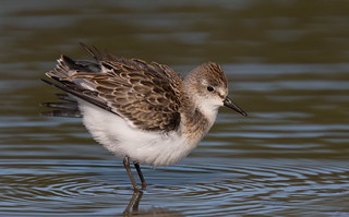 Semi-Palmated Sandpiper.
