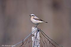 Culbianco _003 (Rolando CRINITI) Tags: culbianco uccelli uccello birds ornitologia varainferiore natura