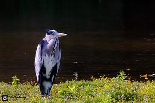Grey Heron in the wind.
