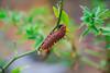 IMG_1033 (Boris Marcell) Tags: nature jungle naturaleza flores oruga tarapoto flower beautiful perú gusano paisaje worm