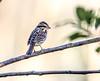 Chipping Sparrow (backyardzoo) Tags: bird chipping sparrow