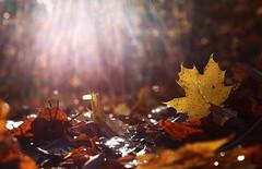 Starlights (annazelei) Tags: fall november autumn today new flickr light lights yellow gold golden naturaleza natura natural colour colorful canon eos outdoor ray sun shining scene sunny naturephotography mystic moment foliage