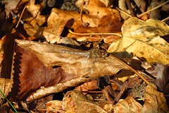 November wildlife watch (Deida 1) Tags: commondarter henreedbeds suffolk november sunshine autumnleaves camouflage dragonfly sunbathing uk