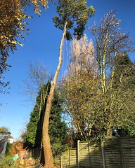 "Little back garden Eucalyptus dismantle this morning. All waste staying on site. Quick cup of tea then we will get it finished ! #wardenstreecare <a style=""margin-left:10px; font-size:0.8em;"" href=""http://www.flickr.com/photos/137723818@N08/26820403589/"" target=""_blank"">@flickr</a>"