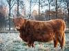 The cold morning (Martijn van Sabben) Tags: frozen winter autumn cow highlandercow coolshot cool olympus nfc getolympus defotoblogger holland nederland netherlands orange fall fog grass animal animals nature staatsbosbeheer westerwolde beauty awesome peace free freedom