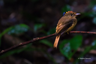 Atlantic Royal Flycatcher (Onychorhynchus swainsoni)