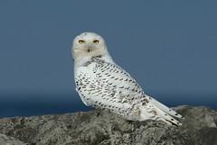 Snowy Owl, Presque Isle, PA (dibell1214) Tags: snowyowls owls raptor nature presqueislepa birdsofprey avian avianphotography birdphotography