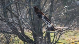 Pygargue à tête blanche // Bald Eagle