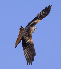 _0509 Red Kite. (Dave @ Catchlight Images) Tags: nature raptor kite red wales gigrin birds