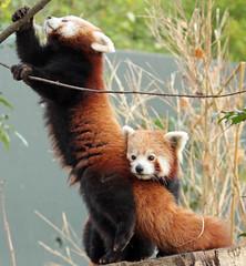 red panda Blijdorp BB2A5865 (j.a.kok) Tags: panda redpanda rodepanda kleinepanda animal blijdorp china asia azie mammal zoogdier dier blijdorpzoo