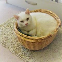 A Snug Fit (cazjane97) Tags: yuki whitecat basket catinabasket
