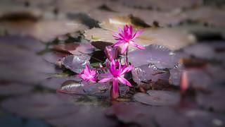 Nan Lian Garden - Lotus