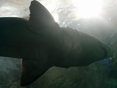 Shark above #toronto #ripleysaquarium #aquarium #fish #shark #latergram (randyfmcdonald) Tags: fish ripleysaquarium latergram shark aquarium toronto