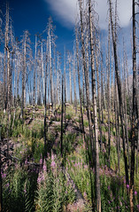 rebuilding years (almostsummersky) Tags: wood fireweed hike regrowth flowers plants purple nationalpark glaciernationalpark glacier clouds summer snag tree travel forestfire trail sky green montana fire dead branches