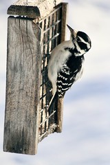 Female Hairy Woodpecker (REGOR NOTPUL) Tags: female hairy woodpecker suet glenburnie ontario