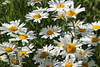 Daisies in December (JP Photography74) Tags: flowers june daisies summer sun uk staffs england outdoors nature canon sigma