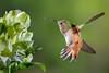 Well Fed (Patricia Ware) Tags: allenshummingbird alstroemeria birdsinflight california canon ef500mmf40isusm fullframe handheld manhattanbeach multipleflashes selasphorussasin tripod httppwarezenfoliocom ©2017patriciawareallrightsreserved specanimal sunrays5