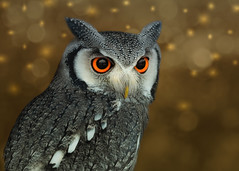 Festive Bruce (FocusPocus Photography) Tags: weissgesichtseule whitefacedowl eule owl ptilopsisleucotis vogel bird tier animal garudafalknerei weihnachten christmas