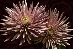Pink Spider Mum Pair 1219 (Tjerger) Tags: nature beautiful beauty black bloom blooming blooms closeup fall flora floral flower flowers green macro mum pair pink plant portrait two wisconsin yellow couple spidermum natural