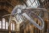 The Blue Whale (Rich Walker75) Tags: skeleton canon historic history animal mammal whale england greatbritain museum landmark landmarks tourism eos100d efs1585mmisusm eos