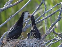 Little Pied Shag feed time (njohn209) Tags: birds d500 nikon nz