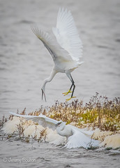 Dominance (JKmedia) Tags: egrets sparring fighting birds egret boultonphotography canoneos7dmarkii ef100400mmf4556lisusm 14xextender wales anglesey cemlyn 2017 wildife inflight pair wings feathers nature inair midair egrettagarzetta littleegret