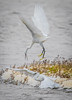 Dominance (JKmedia) Tags: egrets sparring fighting birds egret boultonphotography canoneos7dmarkii ef100400mmf4556lisusm 14xextender wales anglesey cemlyn 2017 wildife inflight pair wings feathers nature inair midair egrettagarzetta littleegret