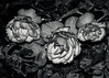 Roses and Raindrops (martincarlisle) Tags: roses raindrops parkandtilfordgardens northvancouver britishcolumbia canada flowers gardens leaves drops pentaxk5 tamronlenses blackandwhite monochrome tonykuyperactions pentaxians pentaxart