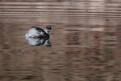 Blanquillo, Silvery grebe, Podiceps occipitalis (Andres Puiggros) Tags: blanquillo silverygrebe podicepsoccipitalis grebe podiceos podiceps birds bird aves chungara lake lauca arica chile nikon d500