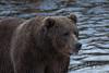 Kodiak Bear Fishing (wyrickodiak_9) Tags: kodiak alaska brown bear grizzly sow cubs fishing river island mammal wildlife apex predator