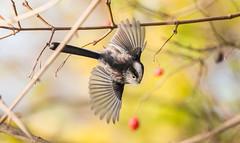 bonus shot (Ian Unwin) Tags: long tailed tit nature wildlife autumn