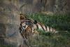 Let Sleeping Cats Lie (Scrib Photography) Tags: tiger tigers malaysiantiger wildlife bigcats