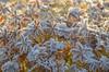 Morning jewelry (RdeUppsala) Tags: frost escarcha autumn otoño outdoor ice naturaleza nature natur höst uppland uppsala sverige sweden suecia ricardofeinstein garden jardín trädgård växter plantas plants yellow amarillo gul