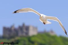 Wildlife @ Dover Beach, England (rvk82) Tags: 2017 birds dover england may may2017 nikkor70200mm nikon nikond810 rvk rvkphotography raghukumar raghukumarphotography seagulls wildlife rvkphotographycom rvkonlinecom