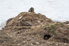 _MG_0398.jpg (Hans Van Loy) Tags: alpenmarmot dieren europa gewervelden kleinwalsertal knaagdieren landenenplaatsen oostenrijk zoogdieren