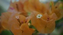 Bougainvillée - Martinique (passionpapillon) Tags: macro fleur flower bougainvillée martinique passionpapillon 2017 jardin