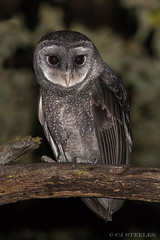 Sooty Owl (chrissteeles) Tags: sootyowl owl nocturnal bird birdofprey birding raptor taragostateforest victoria