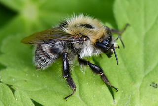 Andrena cineraria - Abeille des sables - Ashy mining bee