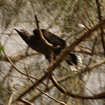 First flight of the Currawong chick thumbnail