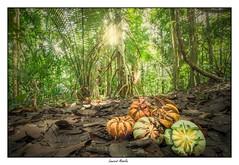 Graines et fruits de Clusia grandiflora dans la forêt de Guyane (Laurent Asselin) Tags: graines fruits plantes arbres forêt guyane amazonie clusia grandiflora