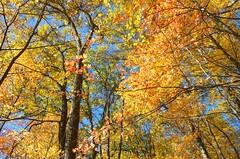 A Fine Fall 4 (Herculeus.) Tags: autumn fall trees leaves color mi usa kensingtonmetropark hiking walking landscape outside outdoor outdoors nature 2017 november