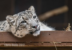 In the Penalty Box (montusurf) Tags: zoosofnorthamerica snow leopard cat feline henry doorly zoo omaha nebraska box face