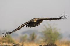 Juvenile Tawny Eagle. (Vikas.B.Chavan) Tags: tawnyeaglejuvenile aquilarapax nikond7100 afsnikkor300mmf4difed