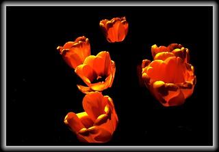 Sonnenberg Gardens & Mansion Historic Park ~ Canandaigua NY  - Tulips
