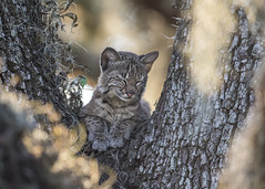 Cat Nap (PeterBrannon) Tags: babybobcat bobcat florida liveoak lynxrufus nature sleeping tree wildcat wildlife catnap portrait spanishmoss