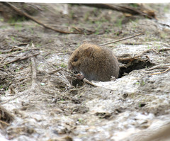 Field Vole  (Microtus agrestis) 2017 (Atascaderocoachsam) Tags: droh dailyrayofhope