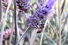 Libando (Alef1961) Tags: macro closeup macrofotografia bee lavanda 7dwf abeja flowers flores flor flower spring primavera happy natural work