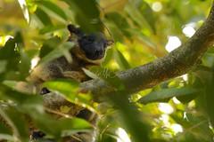 Lumholtz Tree-kangaroo - Joey (Caleb McElrea) Tags: athertontableland farnorthqueensland wettropicsofqueensland worldheritagearea unesco queensland australia rainforest tropical hot biodiversity wildlife wildlifephotography neradateafarm lumholtztreekangaroo treekangaroo macropod arboreal cute marsupial mammal rare