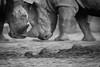 7D2_1964 (Diego J. Lizcano) Tags: 2017 houston symposium tsg tx tapir