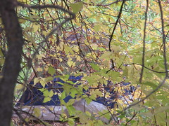 An assiduous deciduous (jamica1) Tags: tree leaves salmon arm shuswap bc british columbia canada